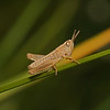 Grasshopper nymph, May