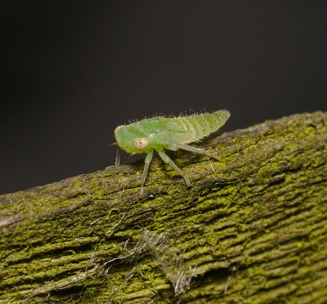 Leafhopper nymph, July