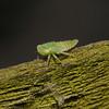 Leafhopper nymph, July