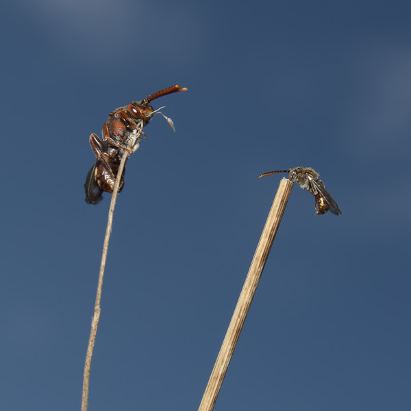 Nomada flava and Nomada flavoguttata, May