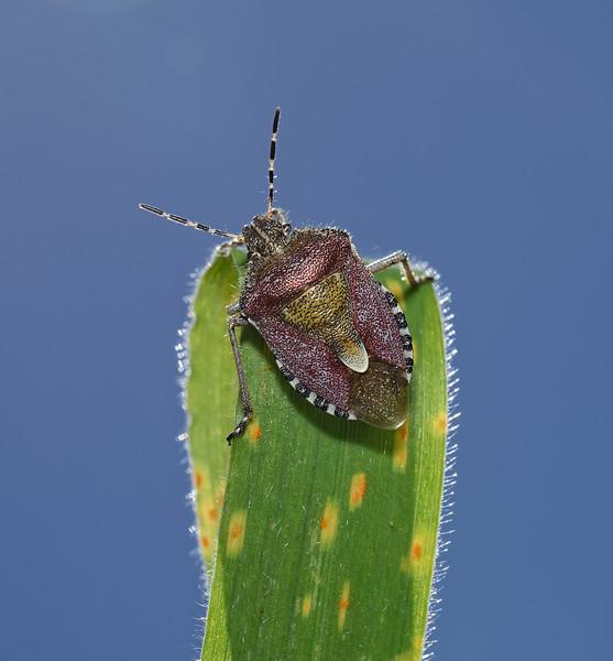 Sloe Shieldbug, Dolycoris baccarum, May