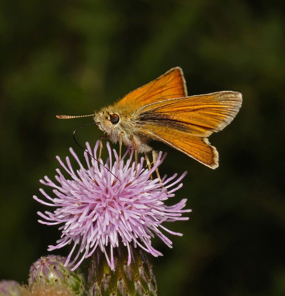 Large Skipper male, July