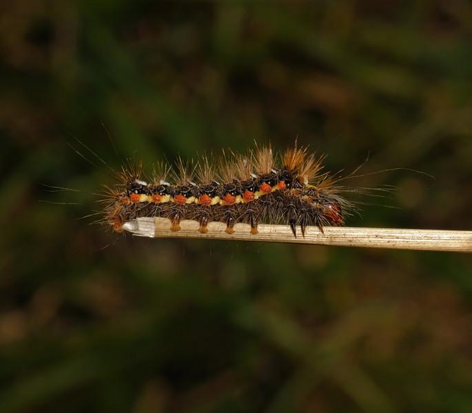 Knot Grass, August