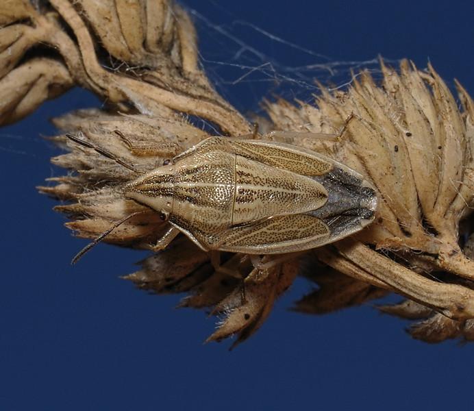 Bishop's Mitre Shieldbug - Aelia acuminata, September