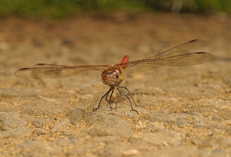 Common darter - Sympetrum striolatum, August