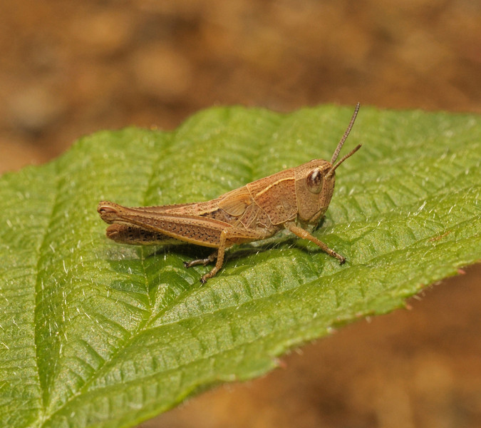 Grasshopper, June