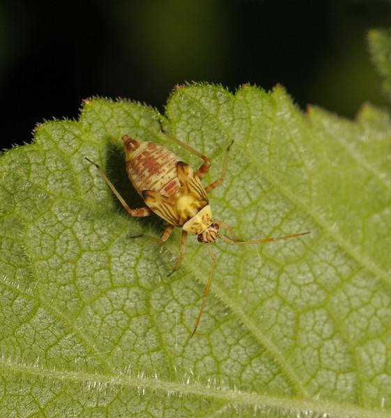 Rhabdomiris striatellus nymph, May