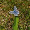 Common Blue male, May