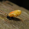 Ladybird larva metamorphosis, October