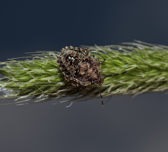 Forest Shieldbug - Pentatoma rufipes nymph, May