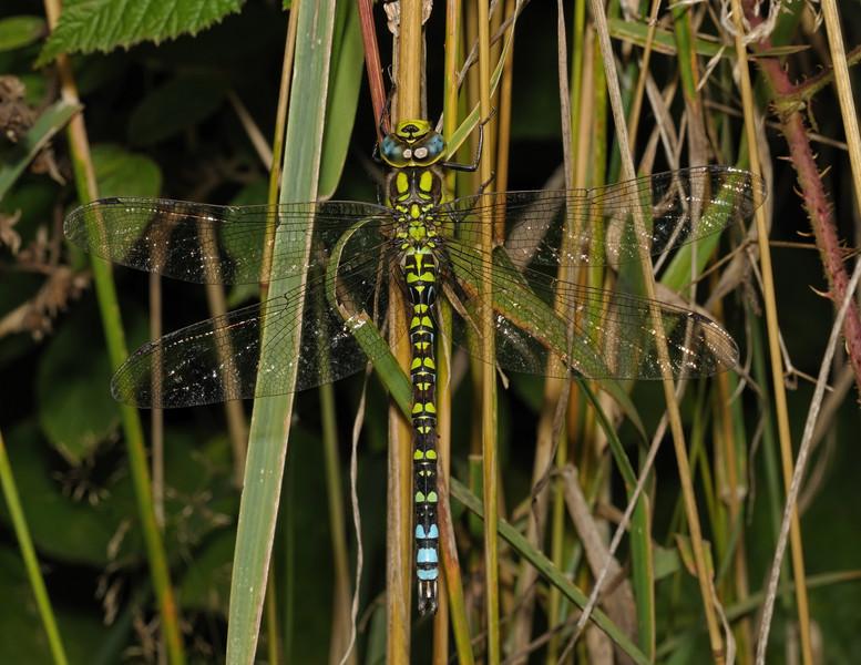 Male Southern Hawker - Aeshna cyanea, August