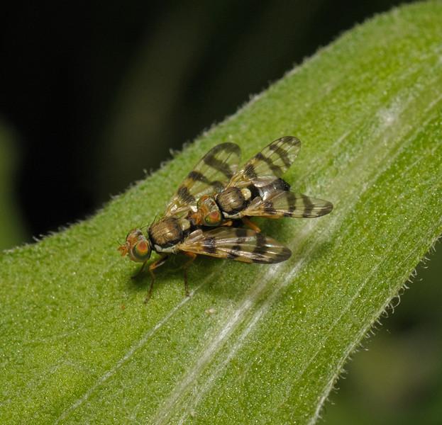 Urophora sp, May