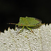 Green Shieldbug - Palomena prasina, September