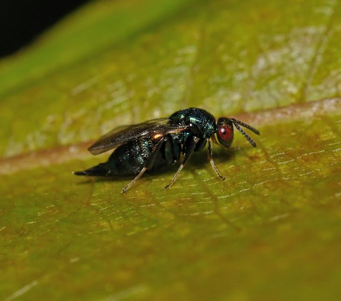 Chalcid Wasp, August