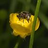 Eristalinus sepulchralis, June