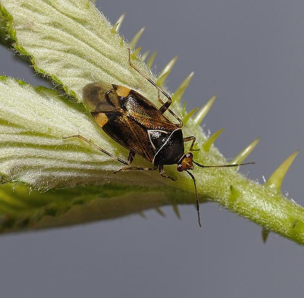 Deraeocoris flavilinea male, June