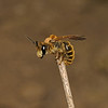 Andrena labialis(?), May