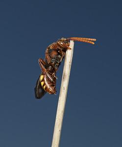 Nomada lathburiana female, May