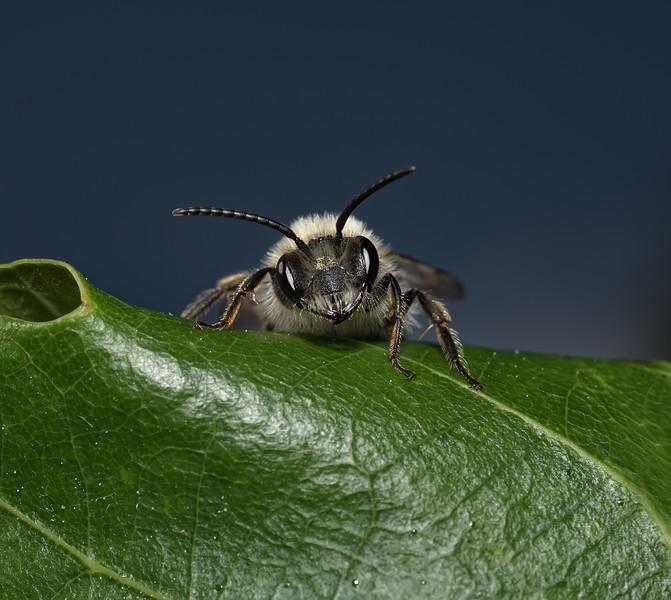 Andrena cineraria female, May