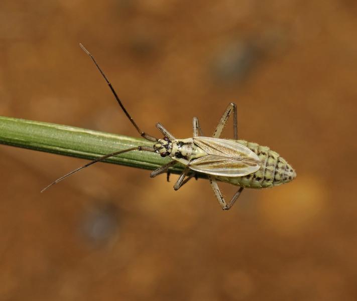 Leptopterna dolabrata female, June