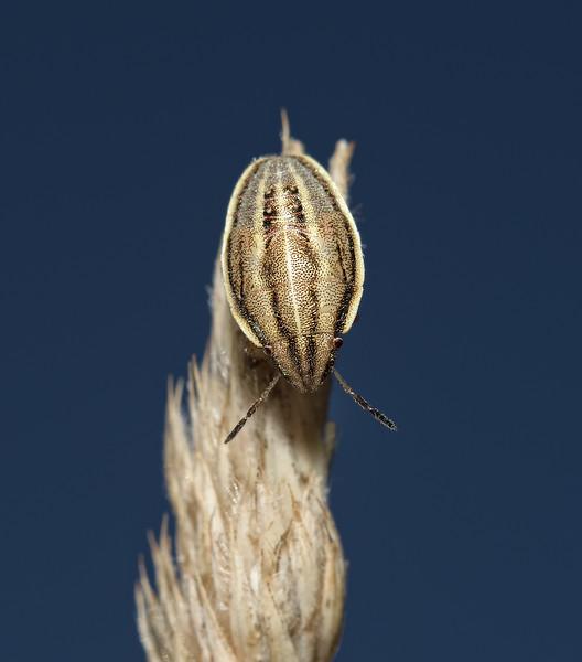Bishop's Mitre Shieldbug - Aelia acuminata nymph, August