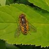 Parhelophilus versicolor, May
