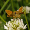 Large Skipper male, June