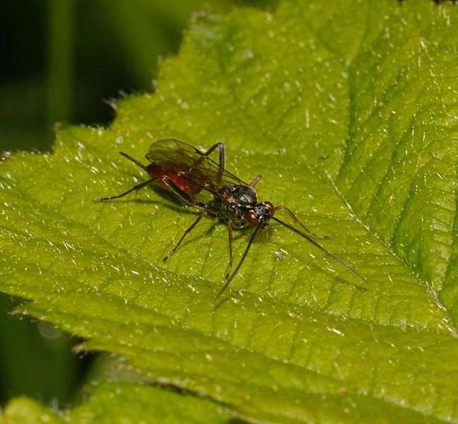 Ichneumon Wasp, April