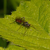 Ichneumon Wasp, April