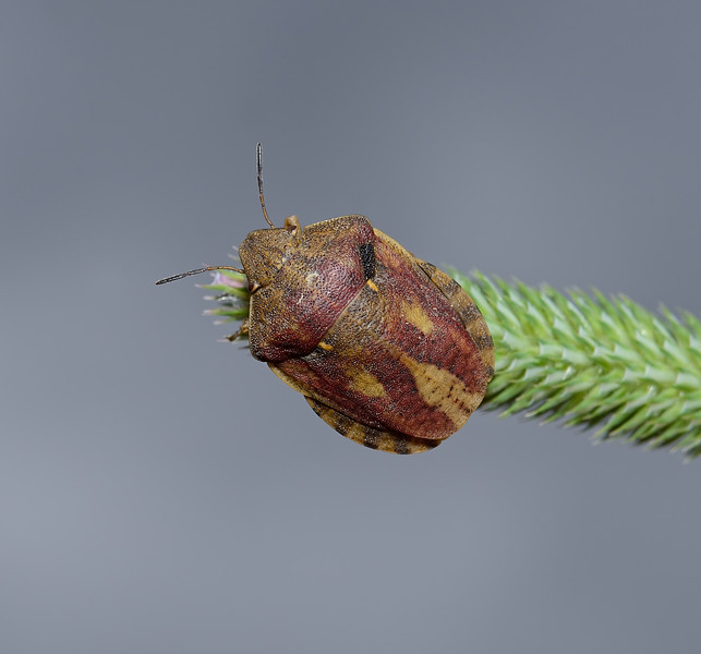 Tortoise Shieldbug - Eurygaster testudinaria, July