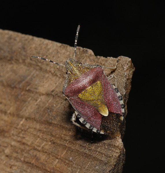 Sloe Shieldbug, Dolycoris baccarum, April