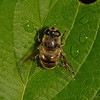 Eristalis arbustorum female, July
