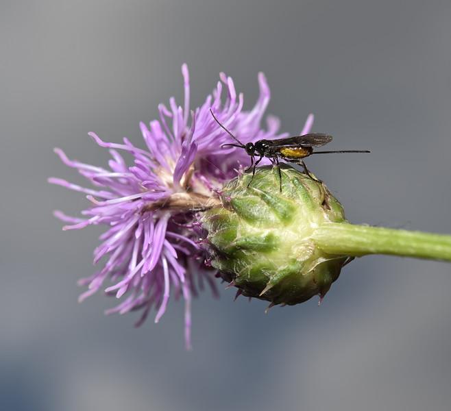 Braconid wasp, August