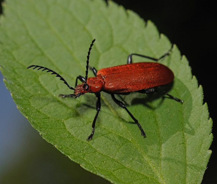 Pyrochroa serraticornis, May