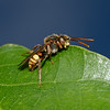 Nomada flava male, May