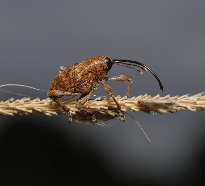 Curculio sp, August