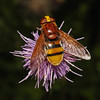 Volucella zonaria female, July