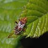 Rhopalus subrufus, June