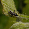 Harpocera thoracica male , April
