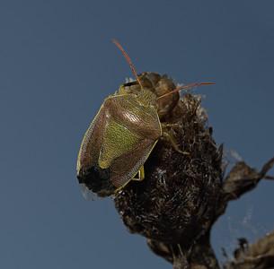 Gorse Shieldbug - Piezodorus lituratus, October