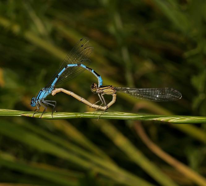 Azure Damselfly - Coenagrion puella, June