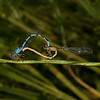 Azure Damselfly - Coenagrion puella, June