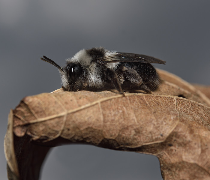 Andrena cineraria, female, April