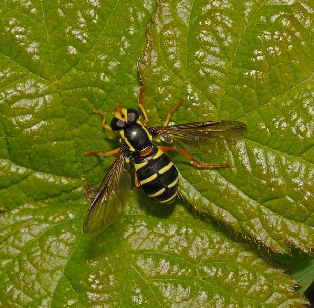 Xanthogramma citrofasciatum female, May