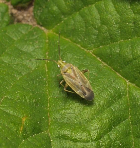 Amblytylus nasutus, June