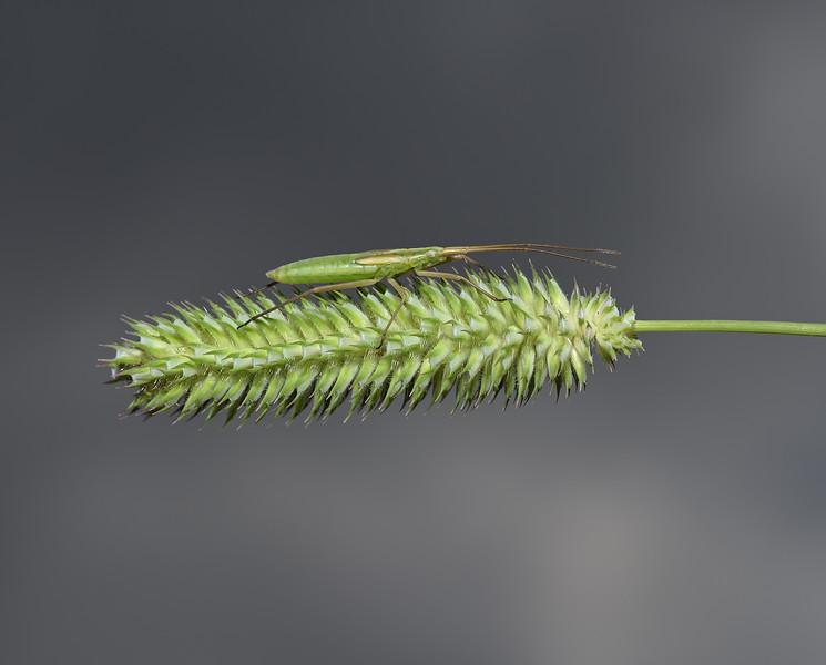 Stenodema laevigata nymph, June