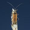 Leptopterna dolabrata male, June