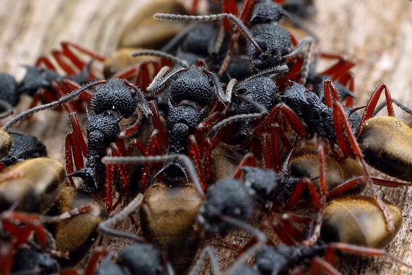 Dolichoderus doriae