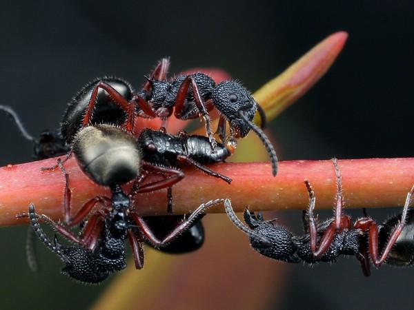 Dolichoderus scabridus