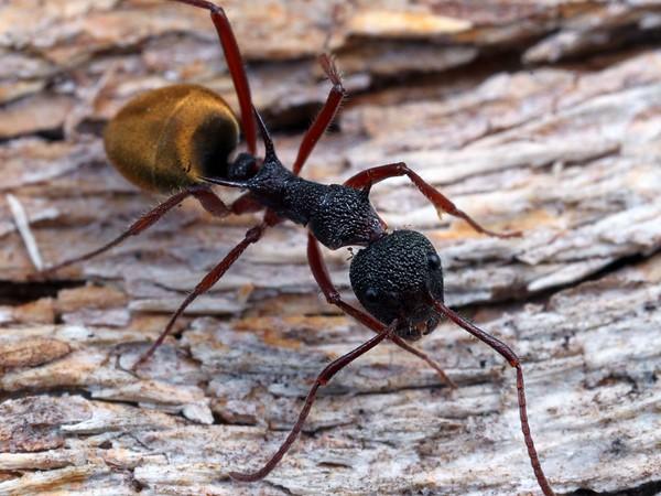 Dolichoderus extensispinus